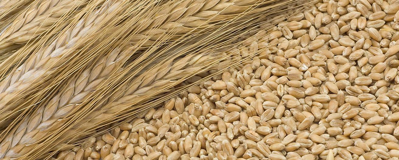 Еженедельный обзор рынка зерновых от 24 марта
