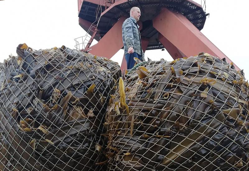Еще в июне водолазы собрали морской капусты более чем на 30 % от необходимой потребности загрузки производственных мощностей