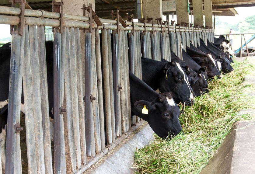 Хозяйства Якутии закупали скот холмогорской породы еще в советские годы