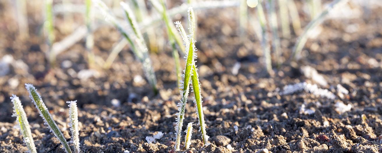 Еженедельный обзор рынка зерновых от 22 декабря