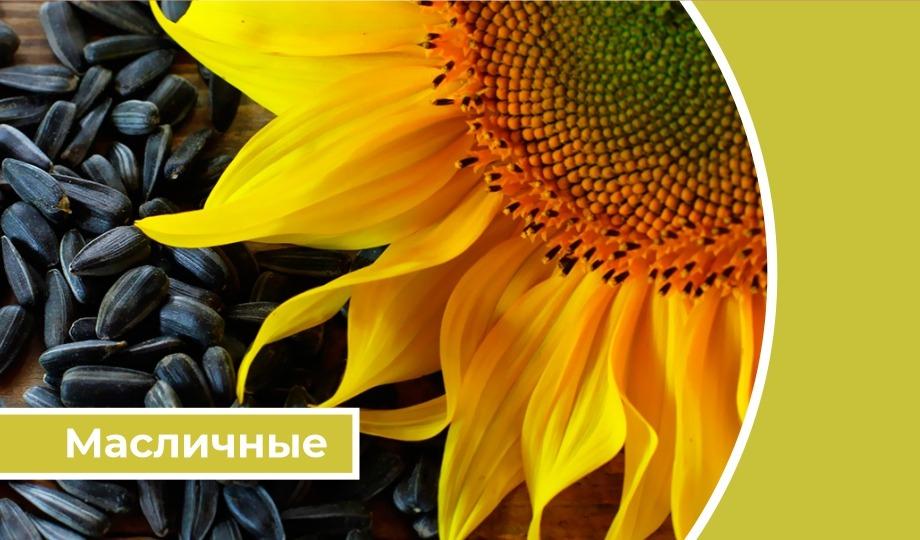 Дайджест «Масличные»: Российские аграрии увеличили реализацию семян подсолнечника на 10,2%
