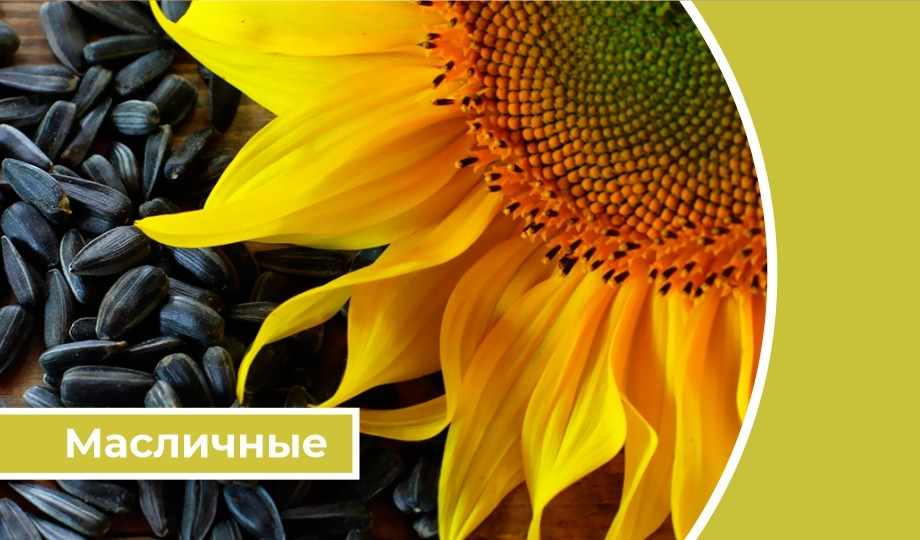 Дайджест «Масличные»: в России экспортная пошлина на подсолнечник повышается до 50% с 1 июля