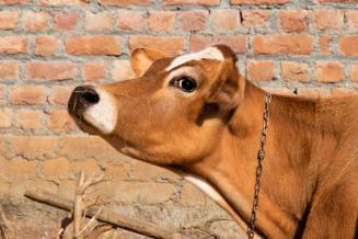 Коровы из Дании производят молоко на Ставрополье