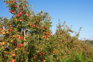 Аграрии Чеченской Республики в 2019 году превысили план закладки многолетних насаждений