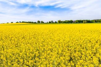 На Ставрополье сельхозтоваропроизводители в 2 раза увеличили площадь под горчицу