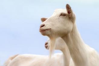В Кировской области СПК «Красное Знамя» наращивает поголовье коз