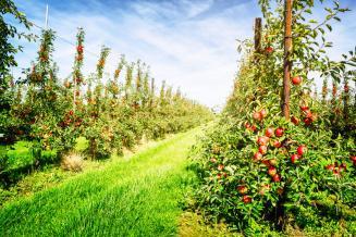 В Калининградской области площадь интенсивных садов и ягодников превысила 1 тыс. га