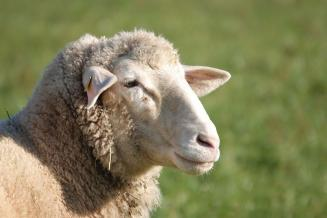 В Тульской области «Мираторг» готовит запуск овцеводческой фермы