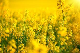 Красноярский край наращивает производство масличных культур