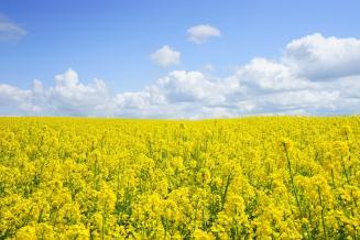 Омская область планирует в 2020 г. увеличить посевы рапса