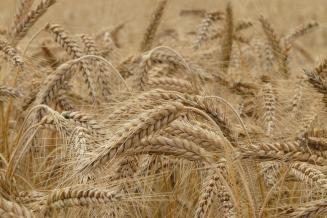 В Чувашской Республике в 2019 году намолотили 724,9 тыс. т зерновых и зернобобовых культур