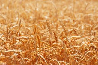 На зерновом рынке Тамбовской области сохраняется положительная ценовая динамика