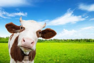 В Кузбассе насчитывается 140,4 тыс. голов крупного рогатого скота