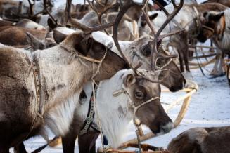 Исследование «Состояние и перспективы развития северного домашнего оленеводства и мясного табунного коневодства в Республике Саха (Якутия)»