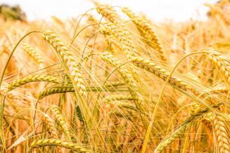 В Пензенской области валовой сбор зерновых и зернобобовых культур в 2019 году составил 1 856 тыс. т