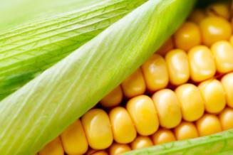 В Волгоградской области открывается крупнейший завод по переработке кукурузы