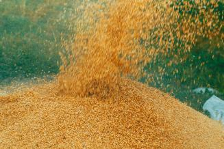 За последнюю неделю резко вырос экспорт ячменя и кукурузы