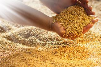 Самарские аграрии обеспечены семенами зерновых и зернобобовых культур на114,1%