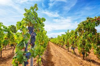 В 2020 году в Краснодарском крае планируется закладка виноградников на площади 1,7 тыс. га