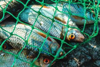В Iквартале в Курганской области выловлено на 36% больше рыбы, чем годом ранее
