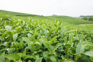 Сочинский чай начали экспортировать в Европу