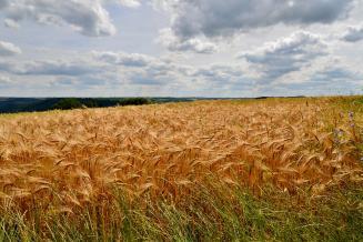 В Курской области темпы сева яровой пшеницы почти в 2 раза выше прошлогодних