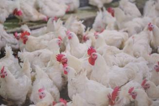 Производство птицы на убой в вологодских сельхозорганизациях выросло на 29,8%