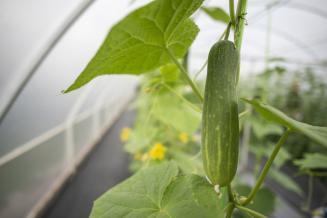 Ставрополье наращивает производство овощей