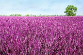 В Омске вывели фиолетовую пшеницу