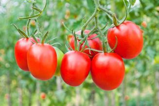 Ученые на Урале вывели томат с повышенным содержанием витаминов