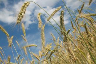 За первую половину мая в Новосибирской области было реализовано 50,6 тыс. т пшеницы интервенционного фонда