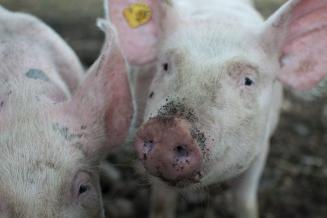 В Псковской области поголовье свиней увеличилось на 10,5%