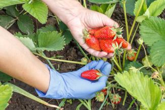 Урожай клубники в России в 2020 г может вырасти на 23,5%, до 8,4 тыс. т