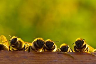 В Алтайском крае запустили первое в России мобильное приложение для пчеловодов