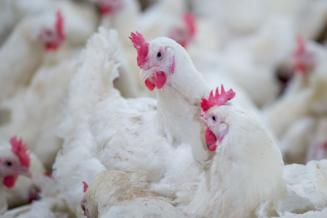 В Адыгее производство скота и птицы на убой увеличилось на 21,7%