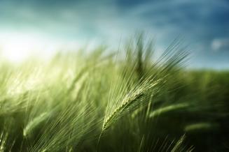 Аграрии Краснодарского края под урожай озимых использовали семена кубанской селекции