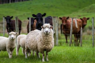 Для развития овцеводства в Бурятии решают проблемы с реализацией скота и шерсти