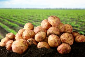 В Чувашии увеличиваются площади посадки картофеля