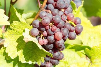 Закон о виноградарстве и виноделии вступил в силу
