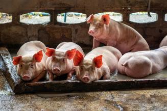 «Сибирская аграрная группа» в2020 году планирует привезти 17,6 тыс. свиноматок в СПК «Чистогорский» Кемеровской области
