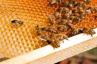 Закон о пчеловодстве принят Госдумой в первом чтении