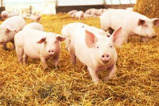 В Орловской области за год на37,2% увеличилось поголовье свиней