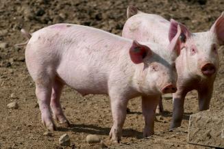 В Курской области за пять месяцев произведено 257 тыс. т скота и птицы на убой