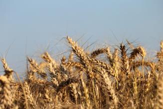 Саратовская область лидирует в ПФО по темпу уборки зерновых