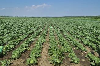 В Московской области собрано около 120 т ранней капусты