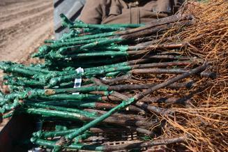 В 2020 году в Севастополе заложат не менее 500 га виноградников