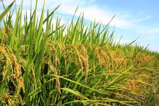 Кубанские аграрии планируют сохранить урожай риса на уровне прошлого года