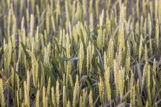 На поддержку элитного семеноводства в2020 году вКрыму предусмотрено более 265млн руб.