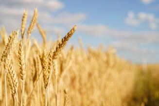 В Республике Ингушетии идет к завершению уборка озимых зерновых