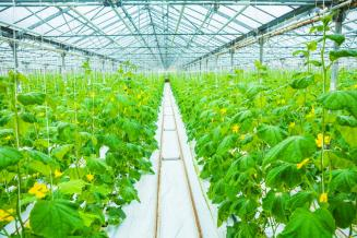 На 22,5% увеличилось производство овощей закрытого грунта